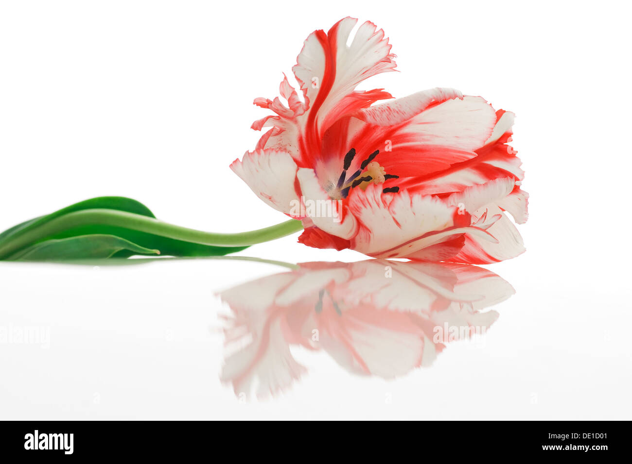 Varicolored tulip flower with reflection - Stock Image