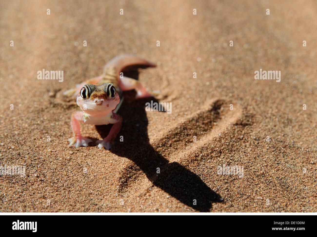 zoology / animals, reptiles, gecko, Web-footed gecko, (palmatogecko rangei), desert, Namib, Namibia, Africa, Additional Stock Photo