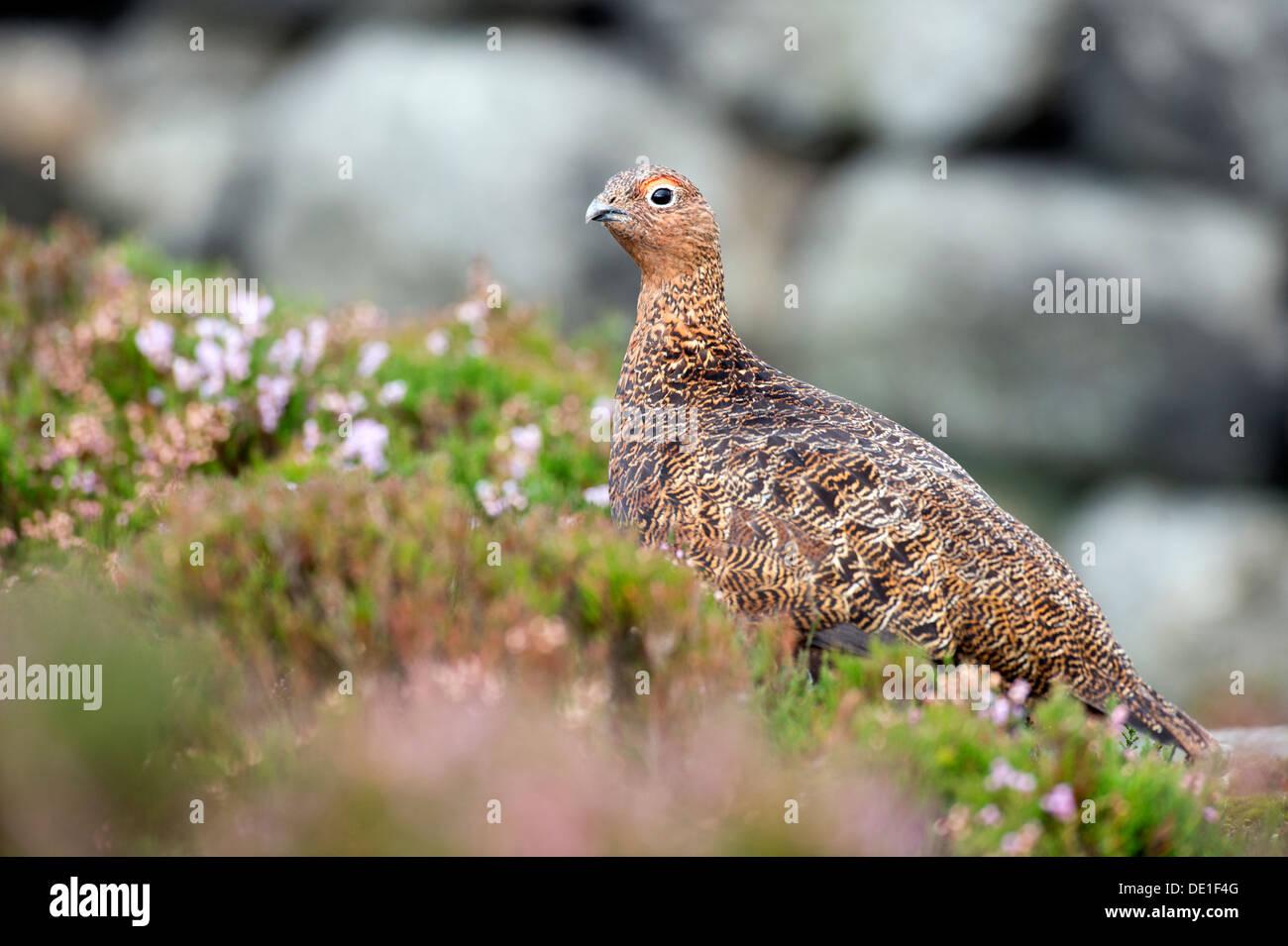 Red Grouse (Lagopus lagopus scoticus) - Stock Image