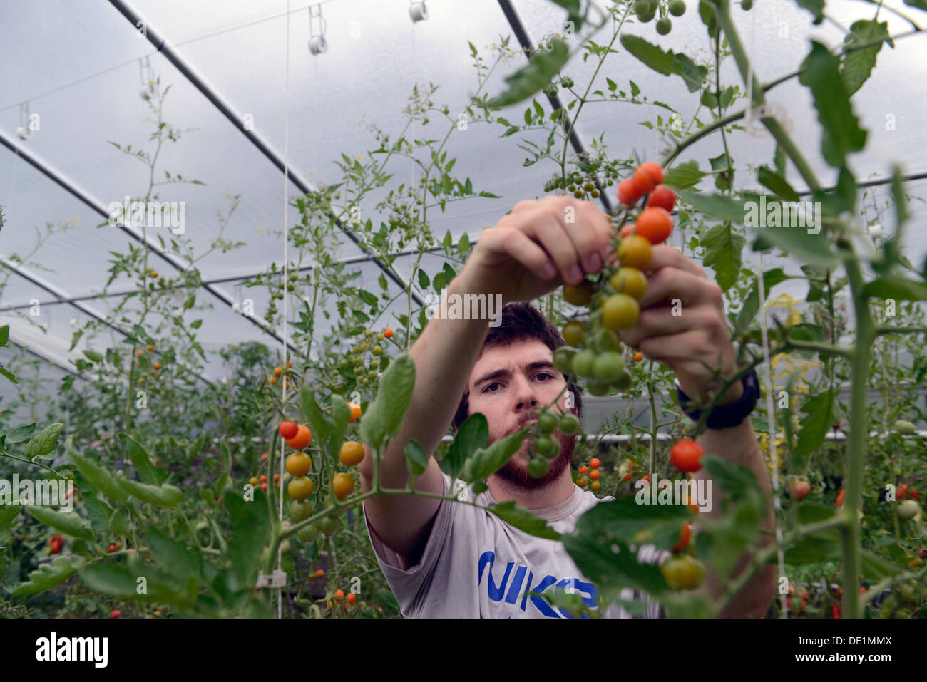 yale university student Jackson Blum, '15, works for the summer at Yale's organic garden. - Stock Image