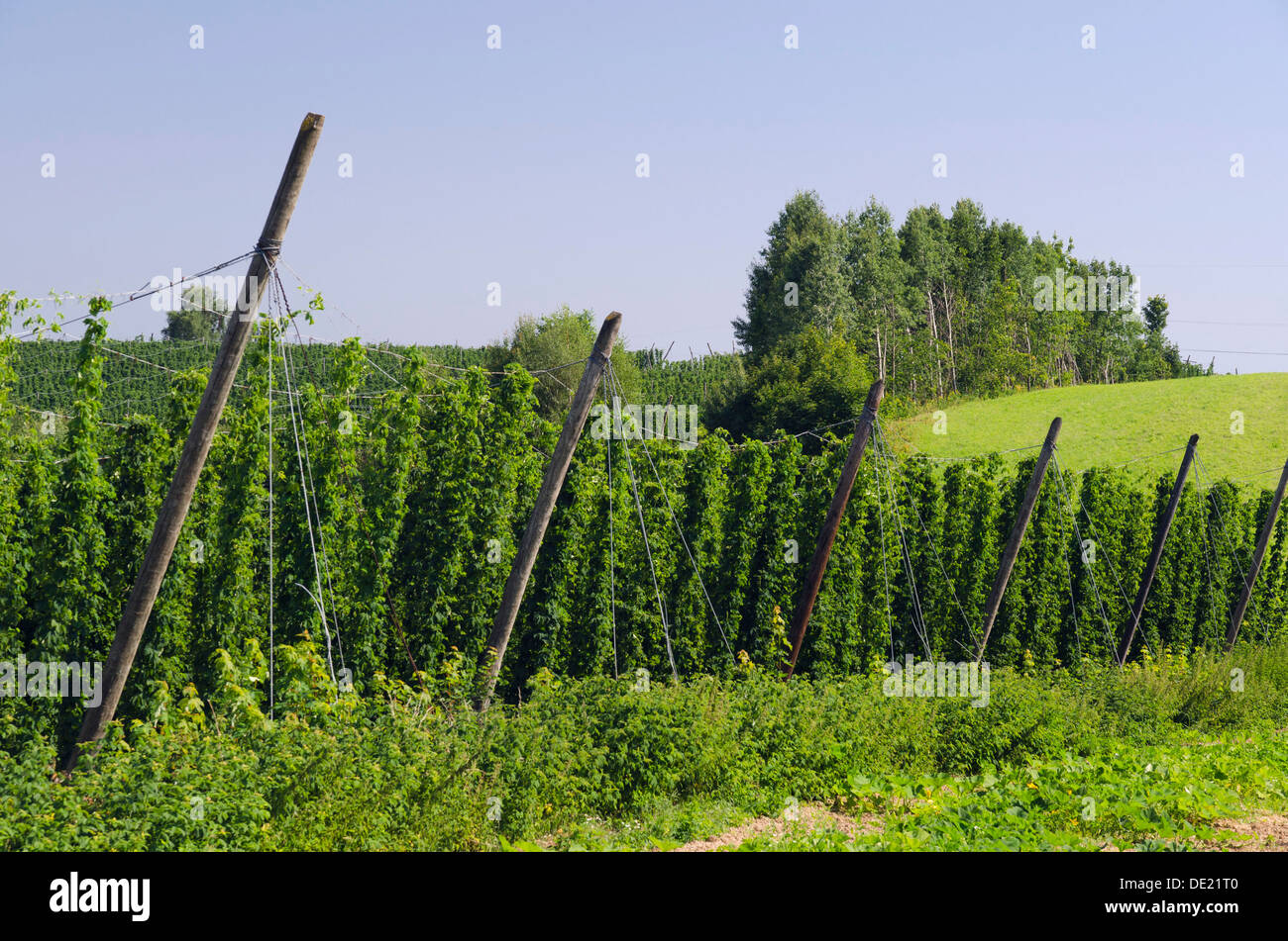 Cultivation of Hops (Humulus lupulus) in the Hallertau area, Mainburg, Bavaria - Stock Image