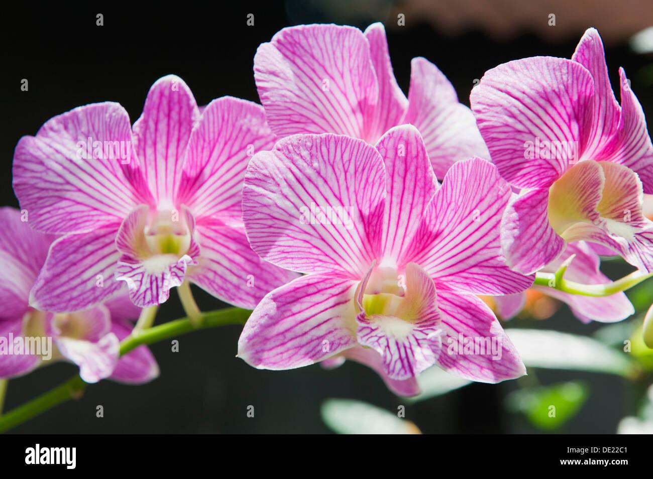 Orchid flowers (Orchidaceae), Ubud, Bali, Indonesia - Stock Image