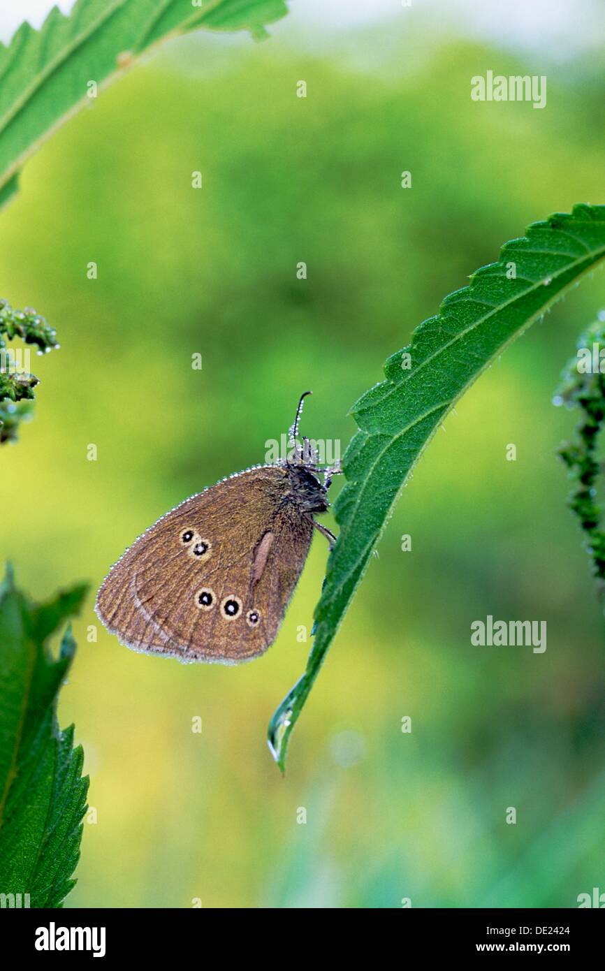 Ringlet butterfly Aphantopus hyperantus in morning dew on stinging nettle leaf - Bavaria/Germany - Stock Image