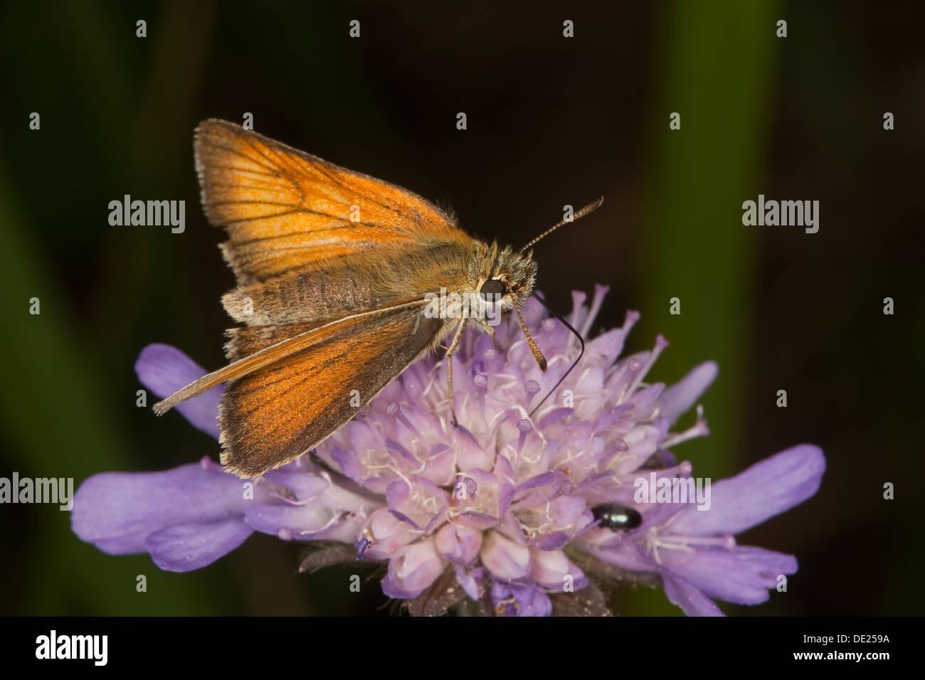 small skipper, Braunkolbiger Braundickkopffalter, Ockergelber Dickkopffalter, Thymelicus sylvestris, Hesperidae, Stock Photo
