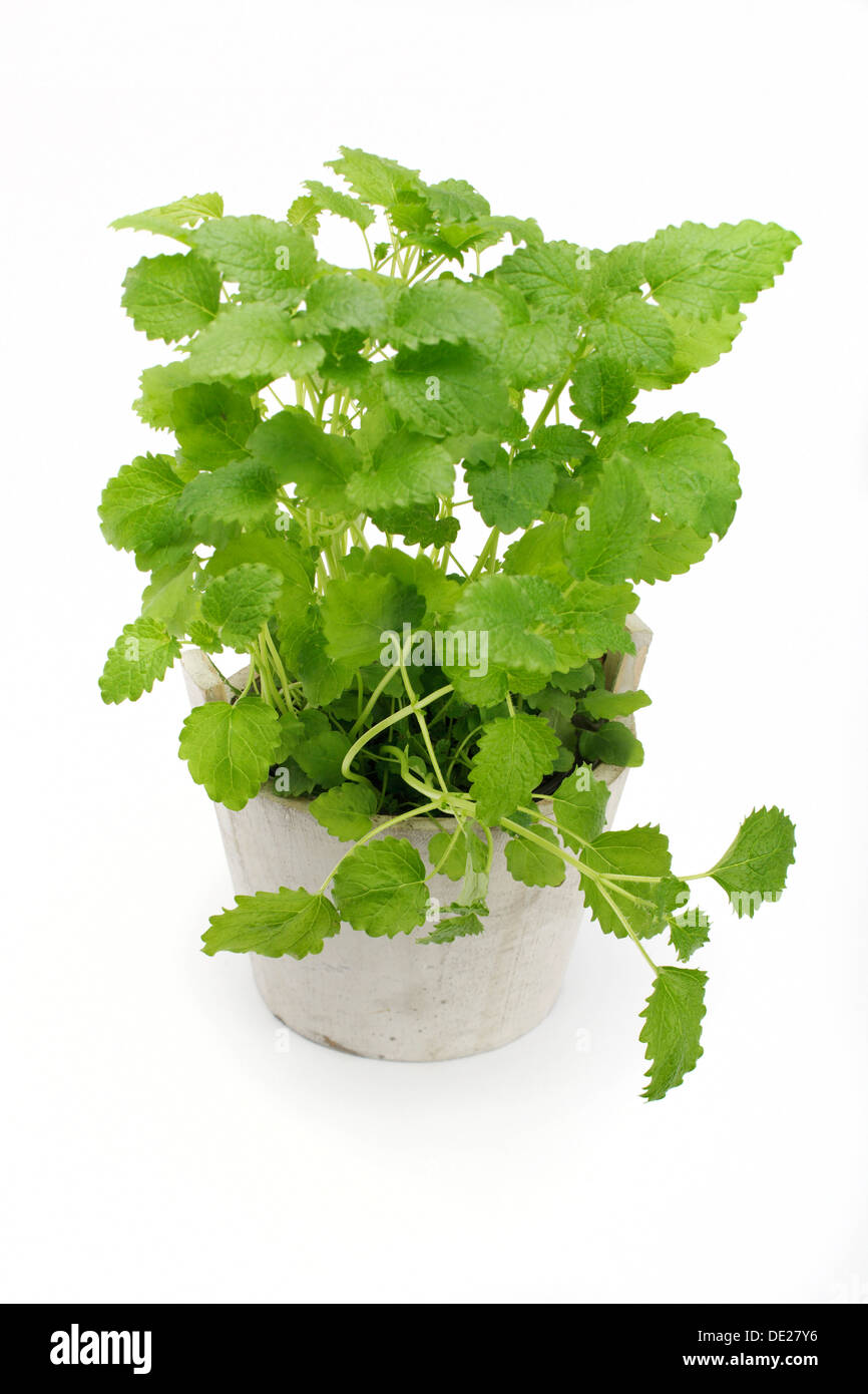 Lemon balm (Melissa officinalis), herb, medicinal plant Stock Photo