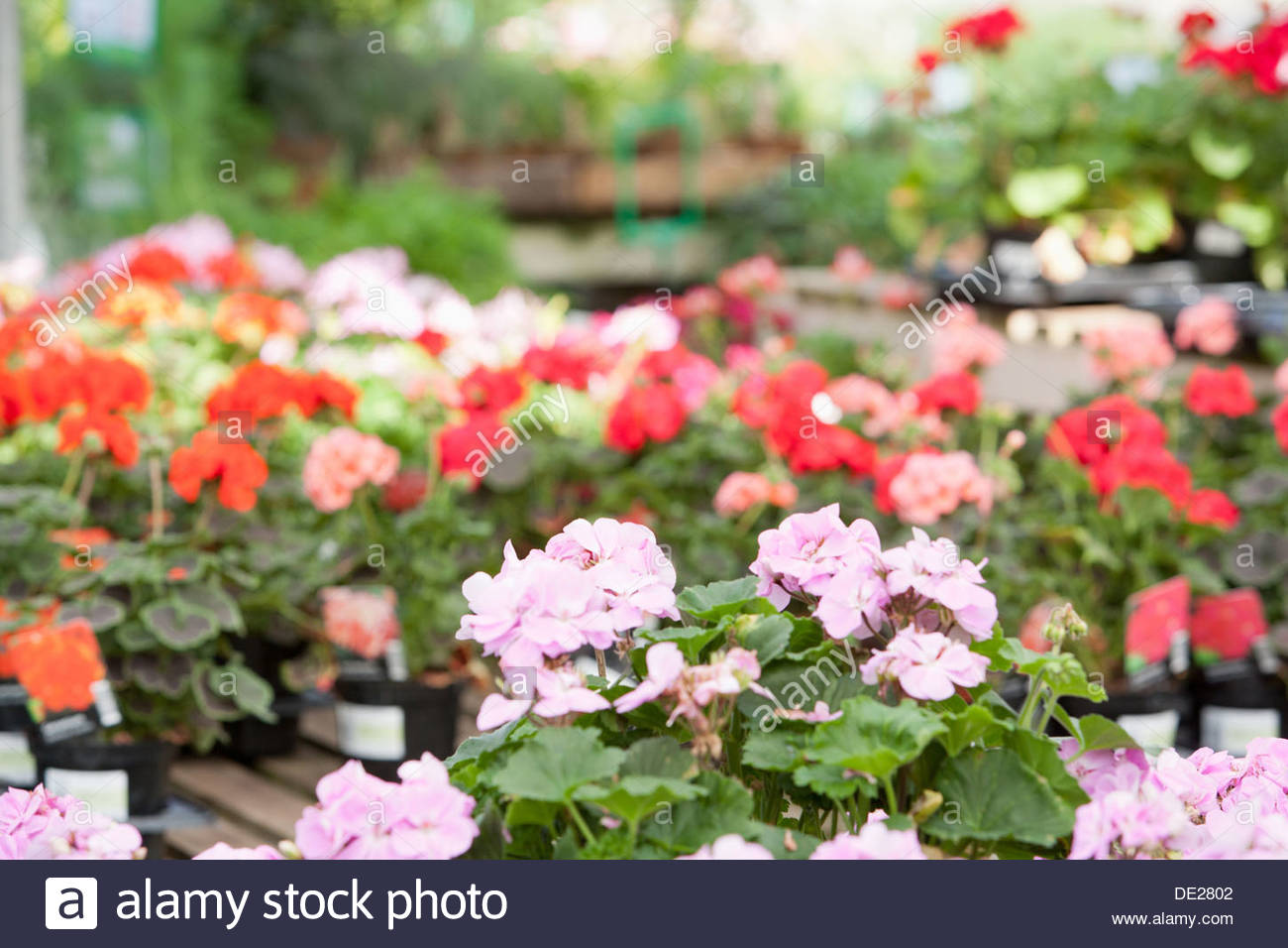 Flowers at nursery - Stock Image