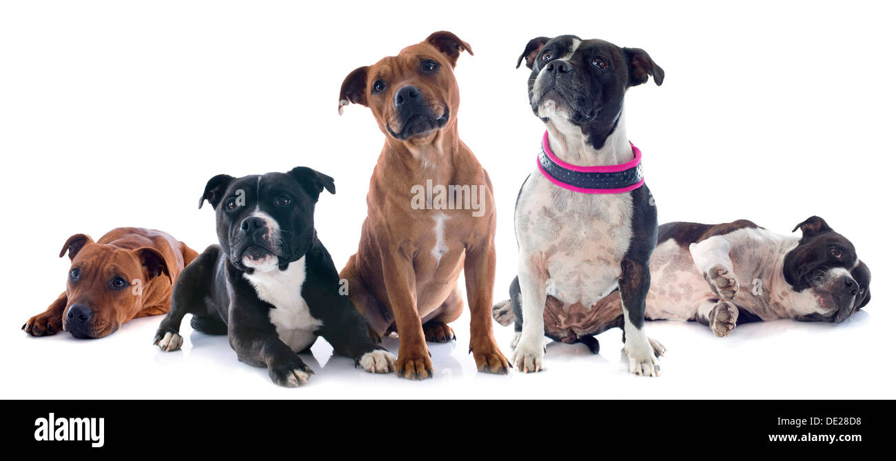 portrait of five staffordshire bull terrier in front of white background - Stock Image