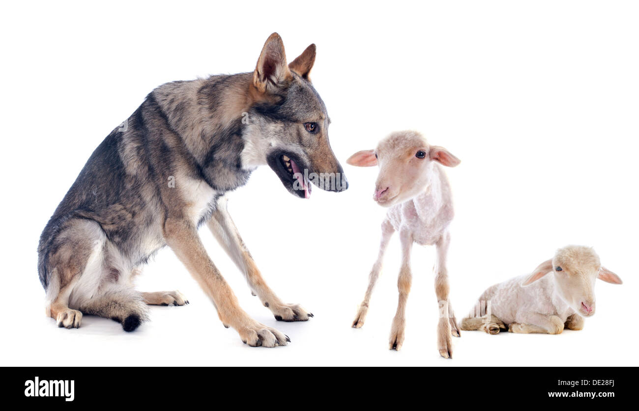 wolf and lambs in front of a white background Stock Photo