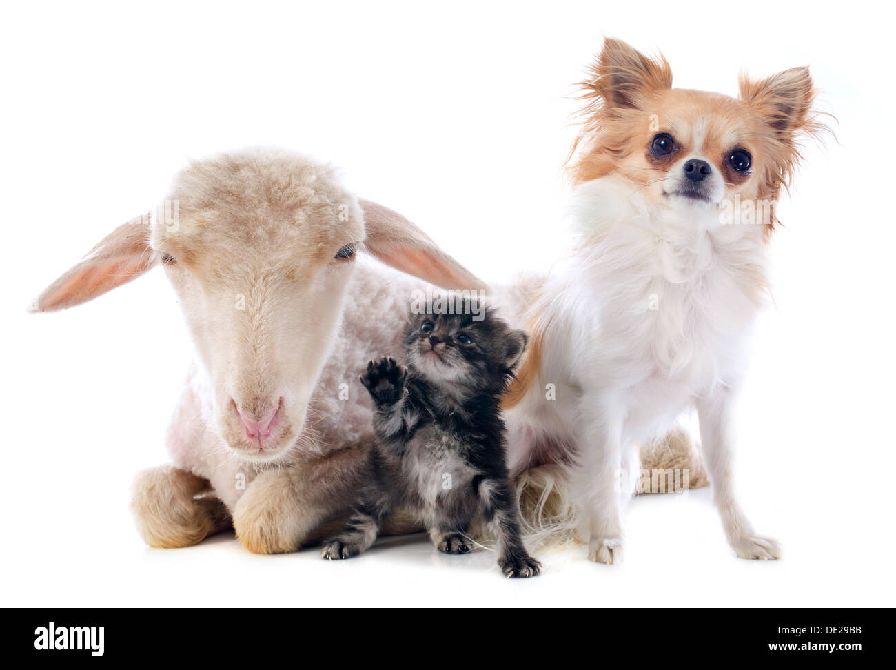 young lamb, kitten and chihuahua in front of white background - Stock Image
