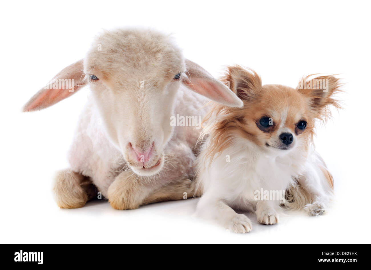 young lamb and chihuahua in front of white background - Stock Image