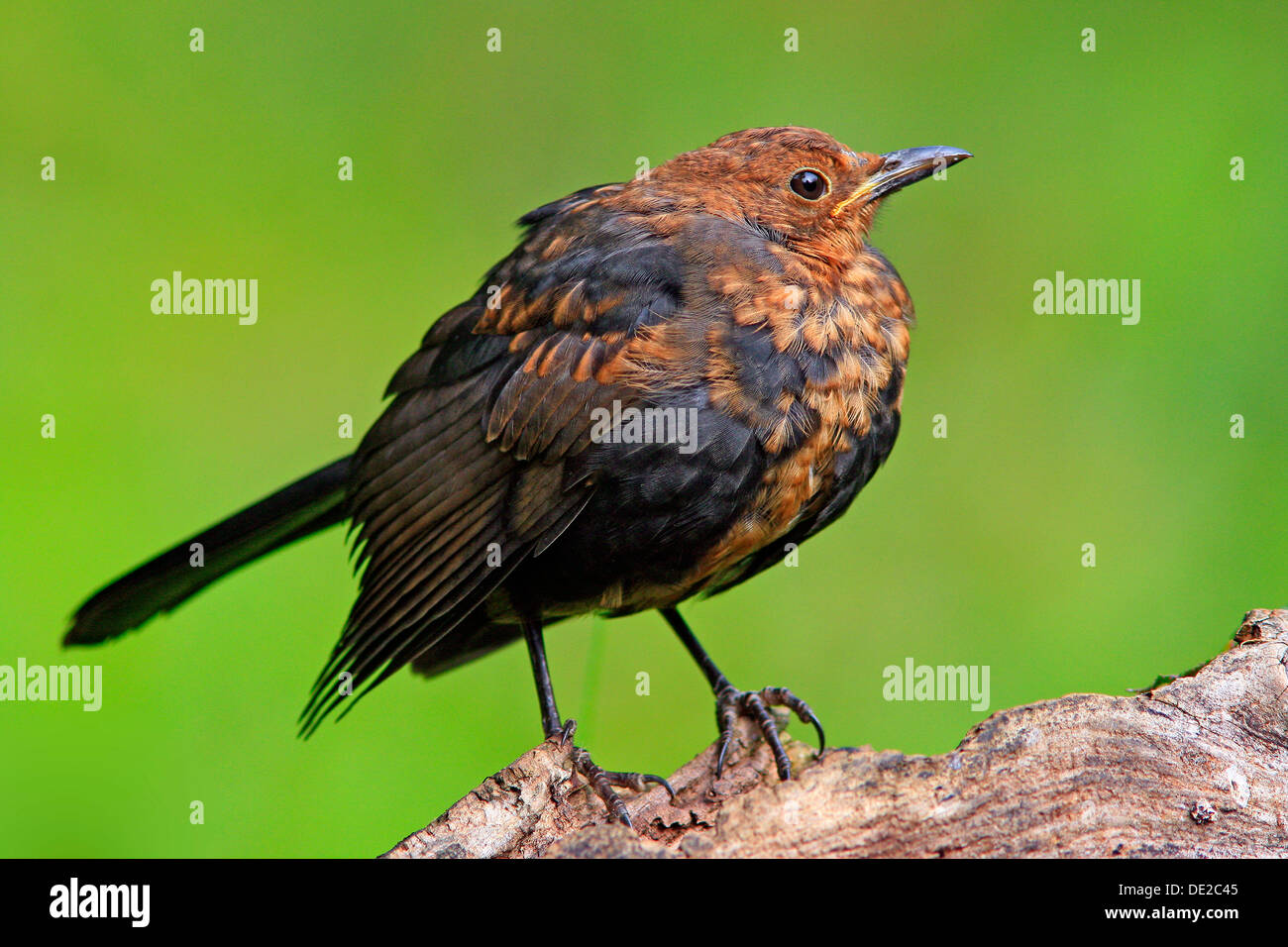 Blackbird (Turdus merula) - Stock Image