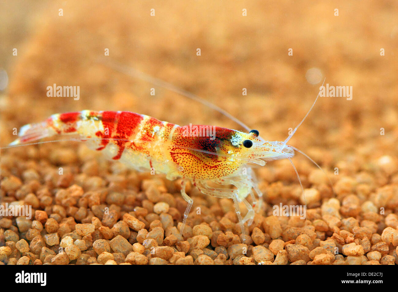 Colourful freshwater shrimp, Crystel Red - Stock Image