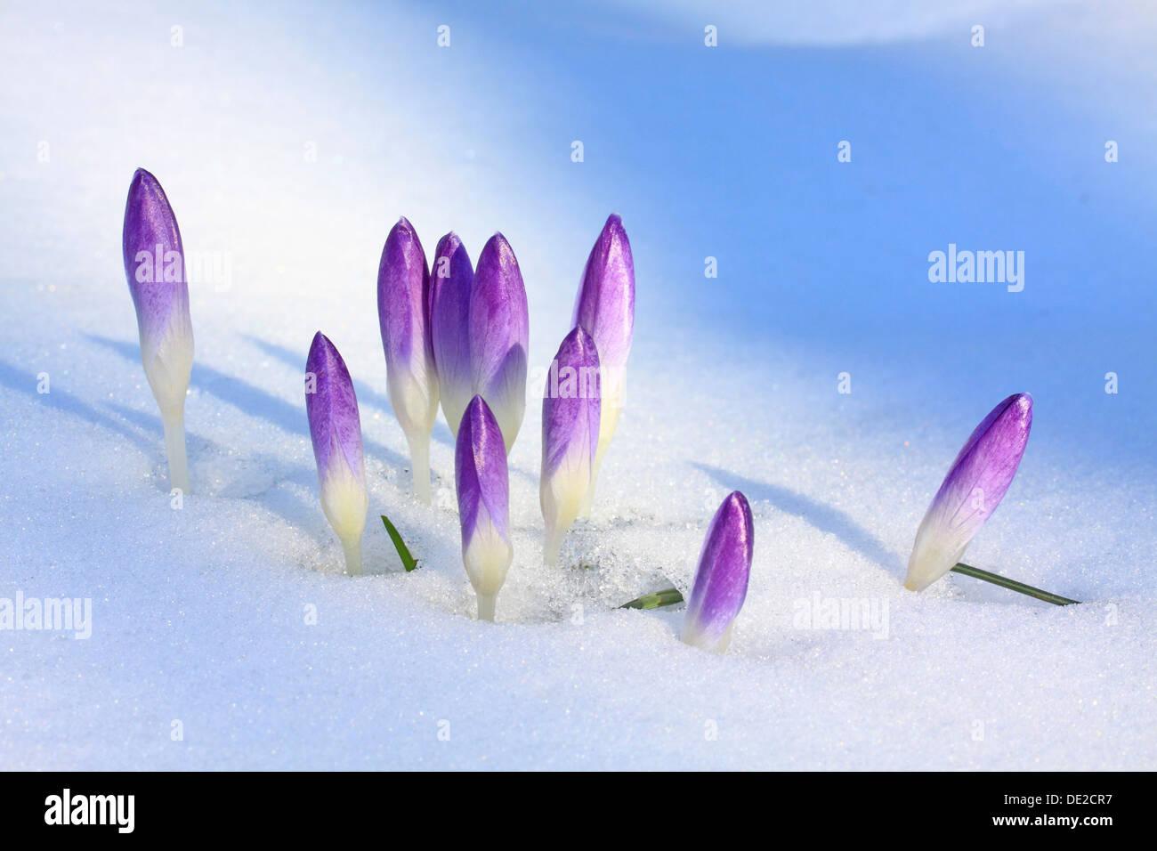 Purple Spring Crocuses or Giant Crocuses (Crocus vernus), closed flowers in snow, Westerwald, Solms, Hesse, Germany - Stock Image