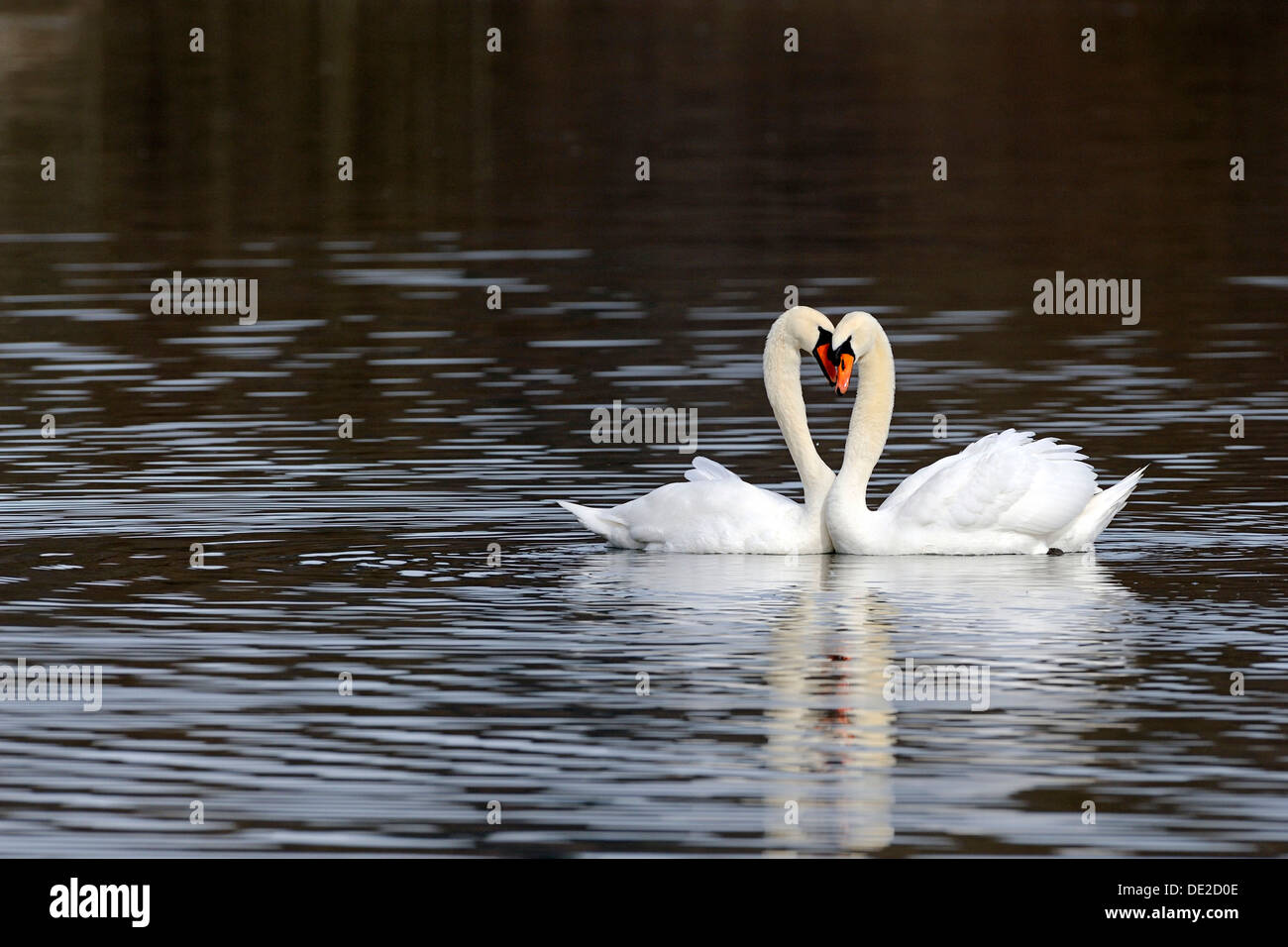 Mute Swans (Cygnus olor), form a heart with their necks Stock Photo