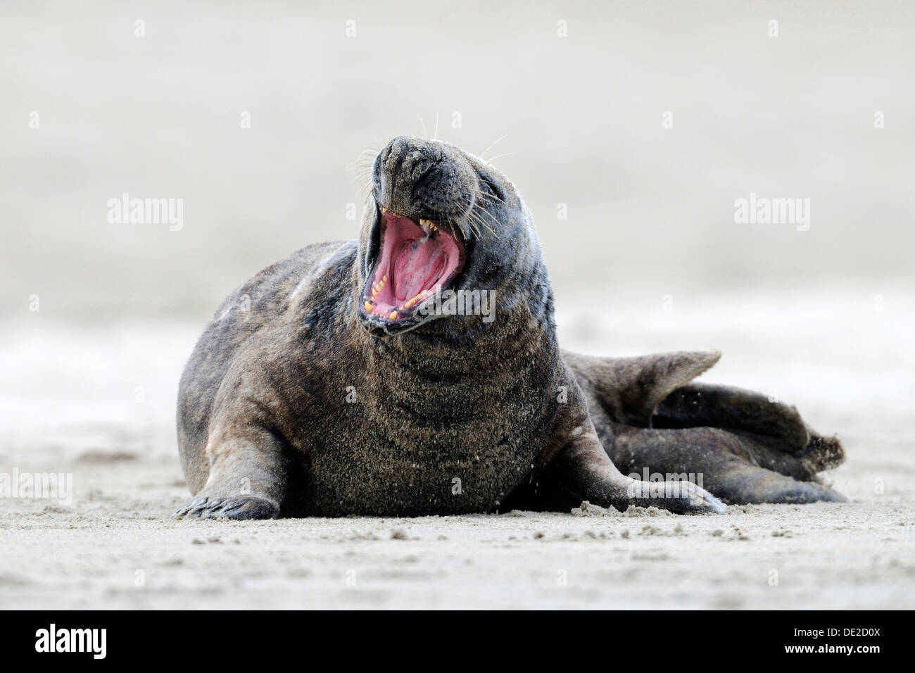 Gray seal (Halichoerus grypus) with open mouth, ocean island, Helgoland, Schleswig-Holstein Stock Photo