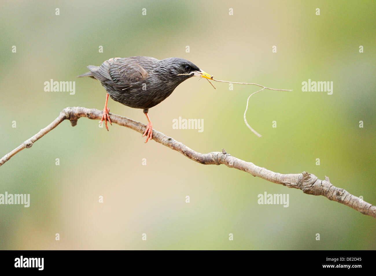 Spotless Starling (Sturnus unicolor), perched on twig with nesting material in beak Stock Photo