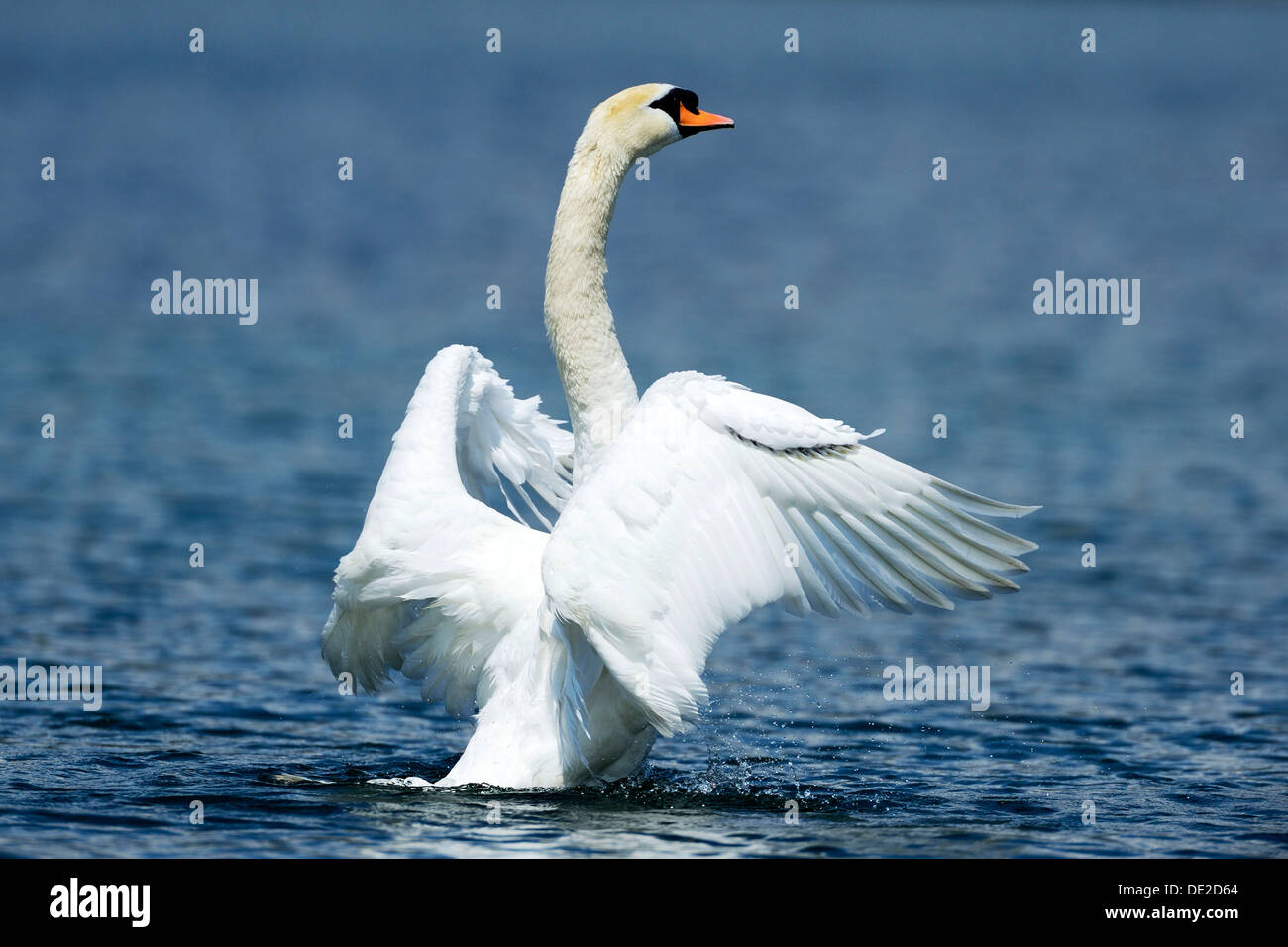Mute Swan (Cygnus olor) shaking wings, Lake Zug, Zug, Switzerland, Europe - Stock Image