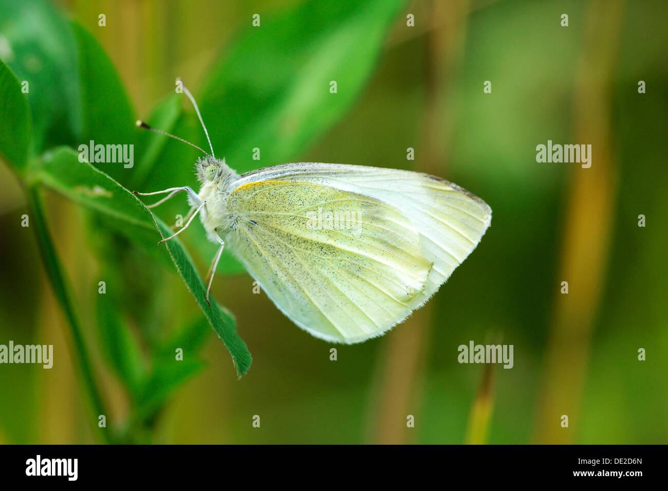 Green-veined White (Pieris napi), underside, Zug, Switzerland, Europe - Stock Image