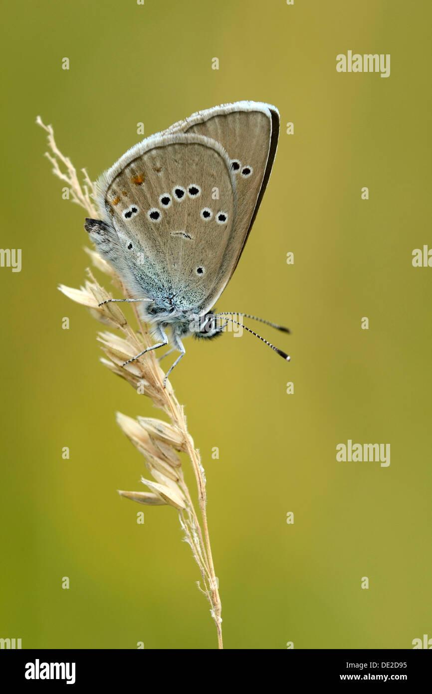 Mazarine Blue (Polyommatus semiargus) on a blade of grass, Zug, Switzerland, Europe - Stock Image