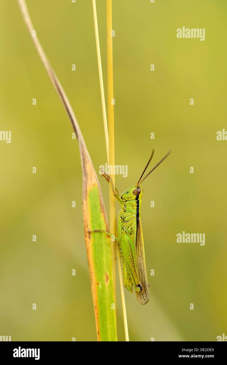 Green grasshopper (Mecostethus parapleurus), Zug, Switzerland, Europe - Stock Image