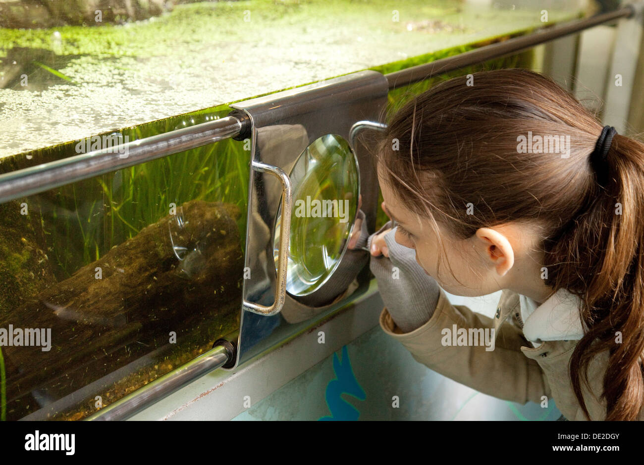 A child studying pond life as part of science of Biology, London Zoo, UK - Stock Image
