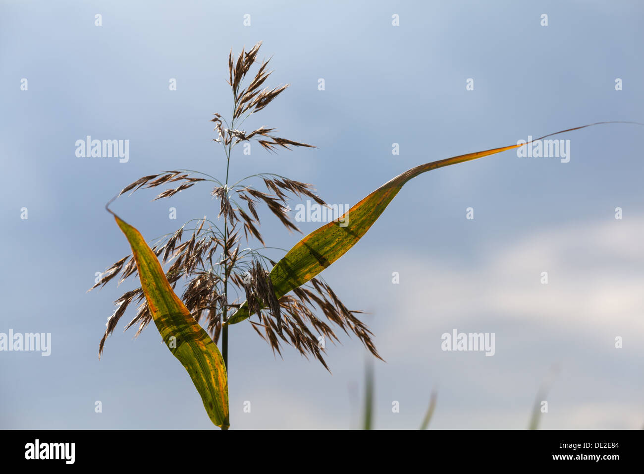 Reed on sky background - Stock Image