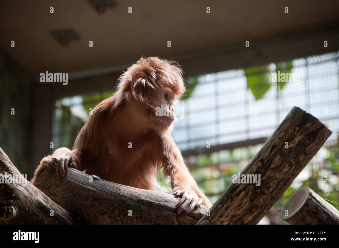 A little monkey at Berlin Zoo looking a little lonely..... Stock Photo
