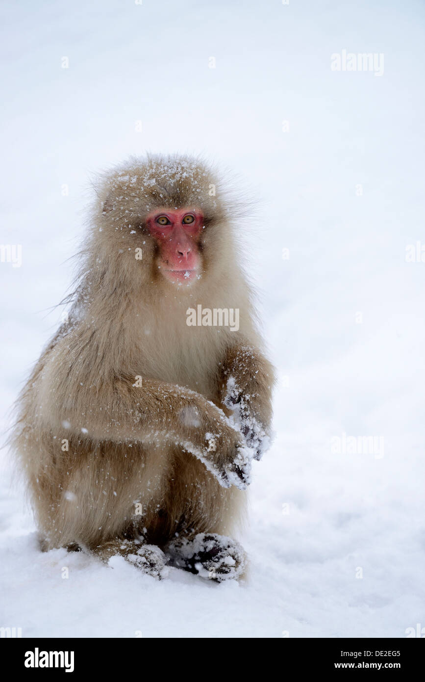 Japanese Macaque or Snow Monkey (Macaca fuscata), sitting on snow, Affenpark Jigokudani, Nagano Präfektur, Japan Stock Photo