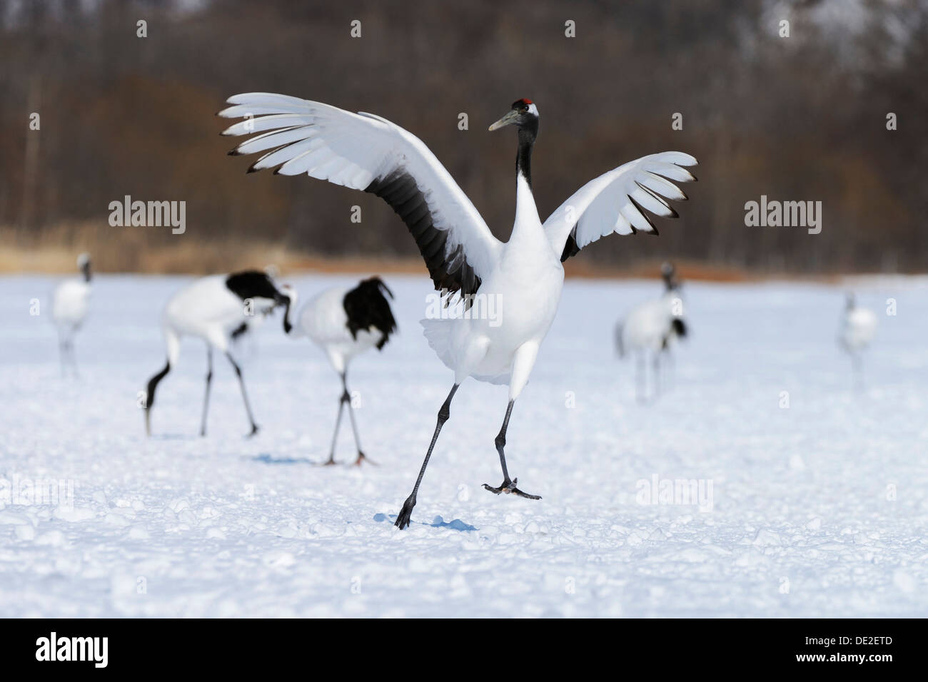 Red-crowned Crane, Japanese Crane or Manchurian Crane (Grus Japonensis), performing the mating dance - Stock Image