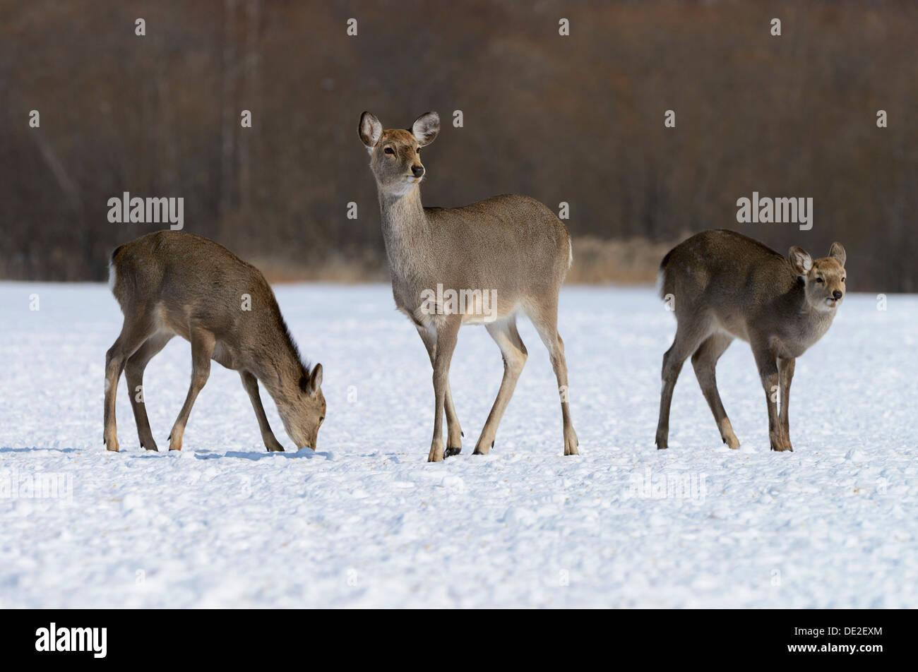 Hokkaido sika deer, Spotted deer or Japanese deer (Cervus nippon yesoensis), hinds, foraging for food in snow - Stock Image