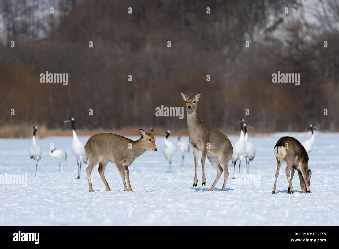 Hokkaido sika deer, Spotted deer or Japanese deer (Cervus nippon yesoensis), hinds, Red-crowned Cranes, Japanese Cranes or - Stock Image