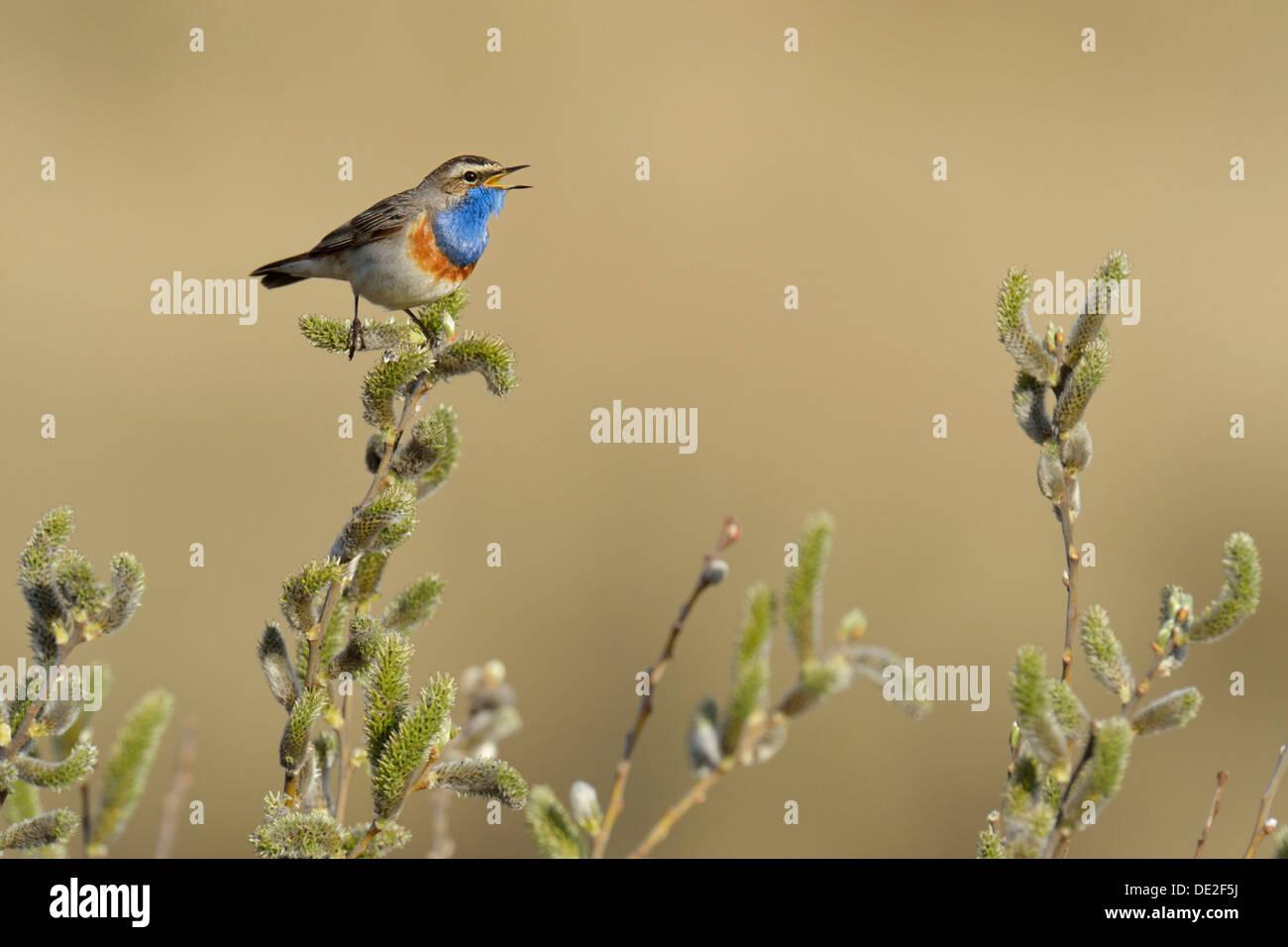 Bluethroat (Luscinia svecica cyanecula), singing on perch, De Geul, Texel, Texel, West Frisian Islands - Stock Image
