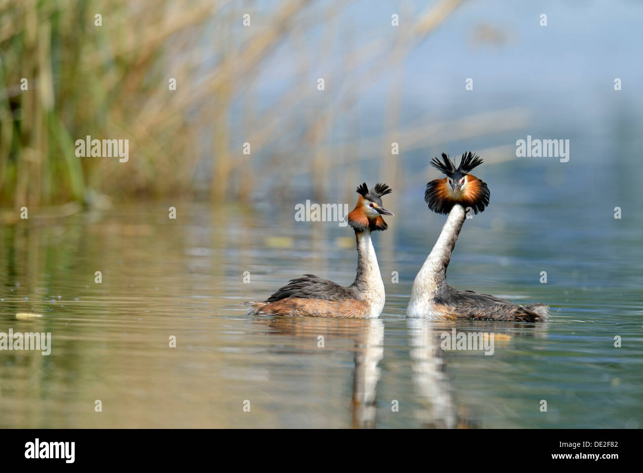 Great Crested Grebes (Podiceps cristatus) during a courtship display, Lake Lucerne, Luzern, Canton of Lucerne, Switzerland Stock Photo