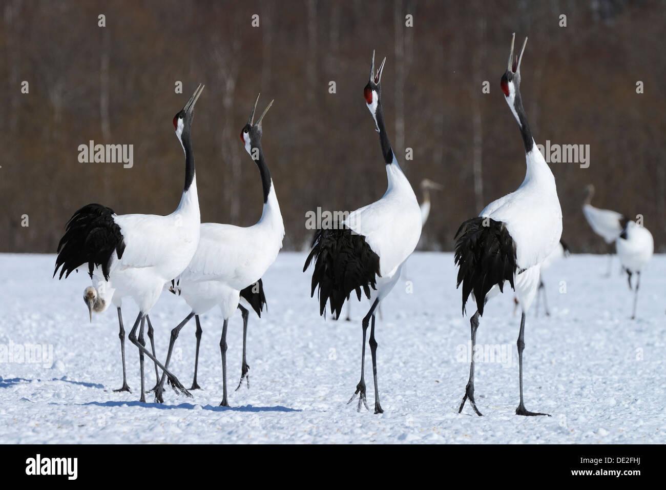 Red-crowned Cranes, Japanese Cranes or Manchurian Cranes (Grus Japonensis), mating call, Kushiro-Shitsugen-Nationalpark, Kushiro - Stock Image