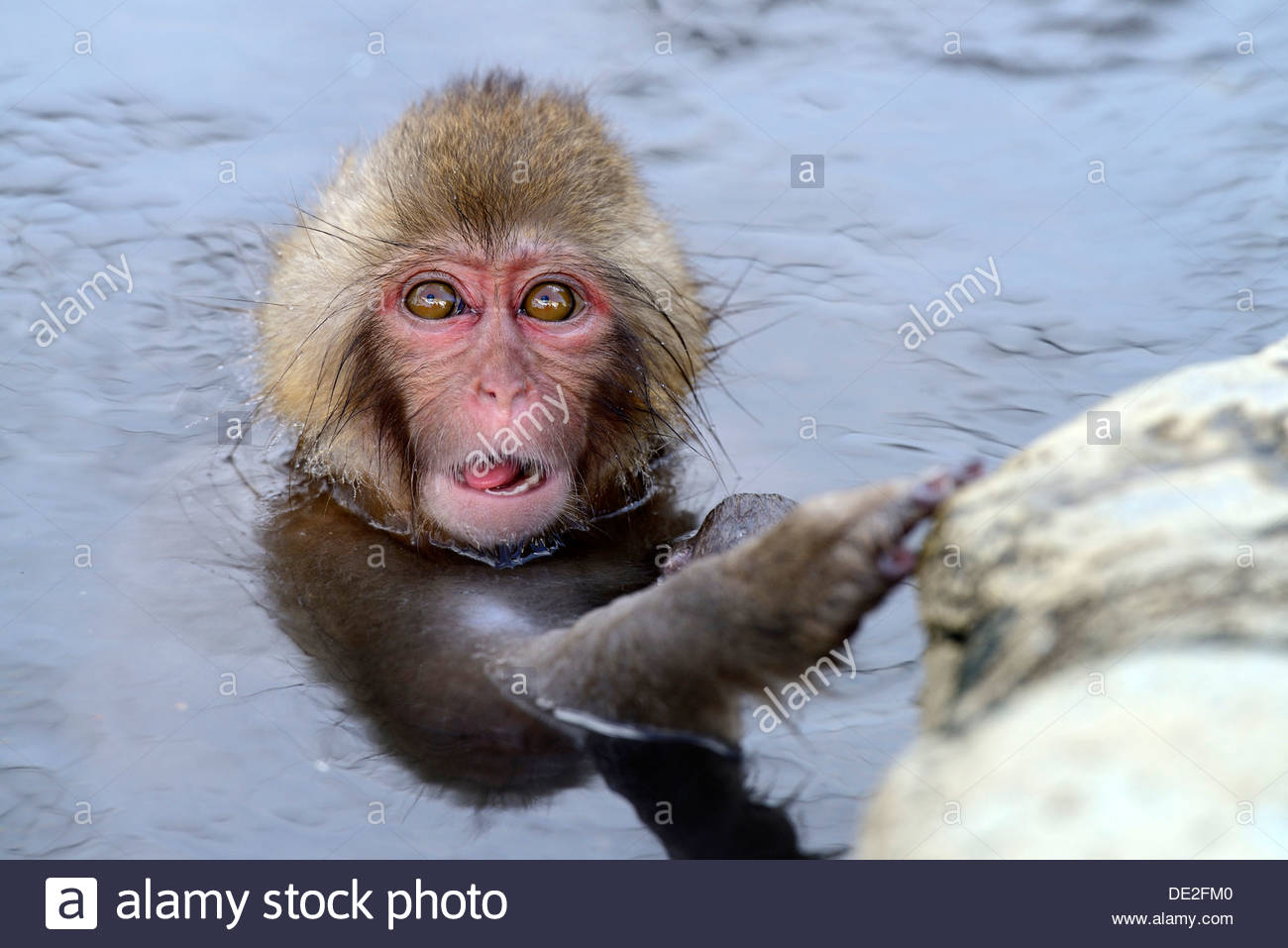 Young Japanese Macaque or Snow Monkey (Macaca fuscata), taking a ...