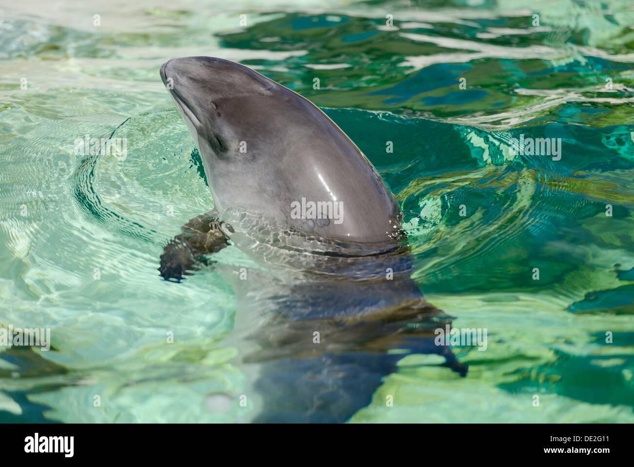 Harbour Porpoise (Phocoena phocoena), captive, Ecomare, De Koog, Texel, West Frisian Islands, province of North Holland - Stock Image