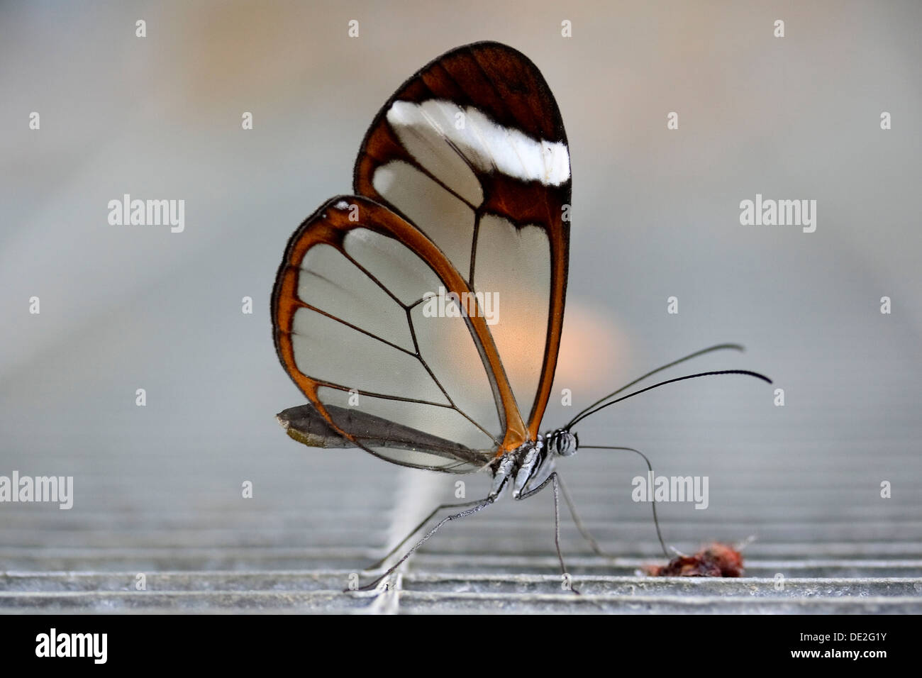 Brush-footed Butterfly (Greta oto), butterfly from South America - Stock Image