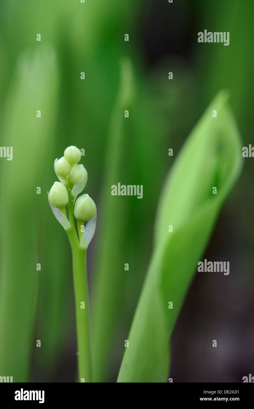 Buds of lily of the valley flowers convallaria majalis stock photo buds of lily of the valley flowers convallaria majalis izmirmasajfo