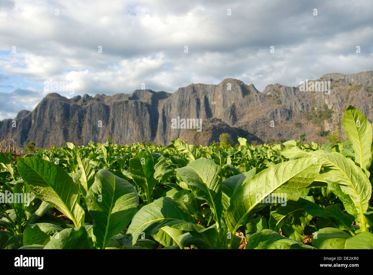 Agriculture, tobacco plants in the field, at Thakhek, Khammuan province, Khammouane, Laos, Southeast Asia, Asia - Stock Image