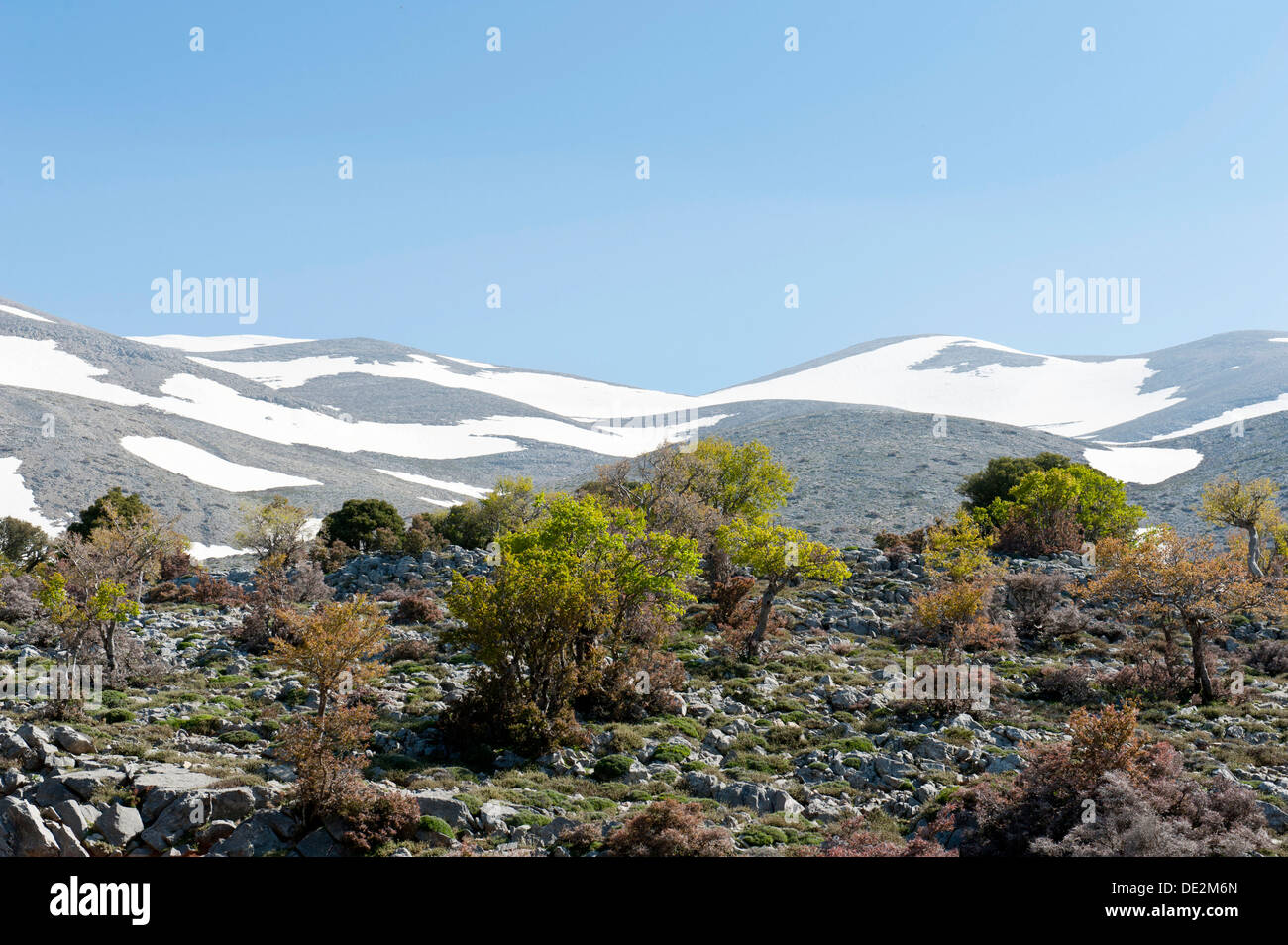 Holm oaks (Quercus ilex) and Thornapple shrubs (Crataegus), mountain forest, Psiloritis mountain or Mount Ida - Stock Image
