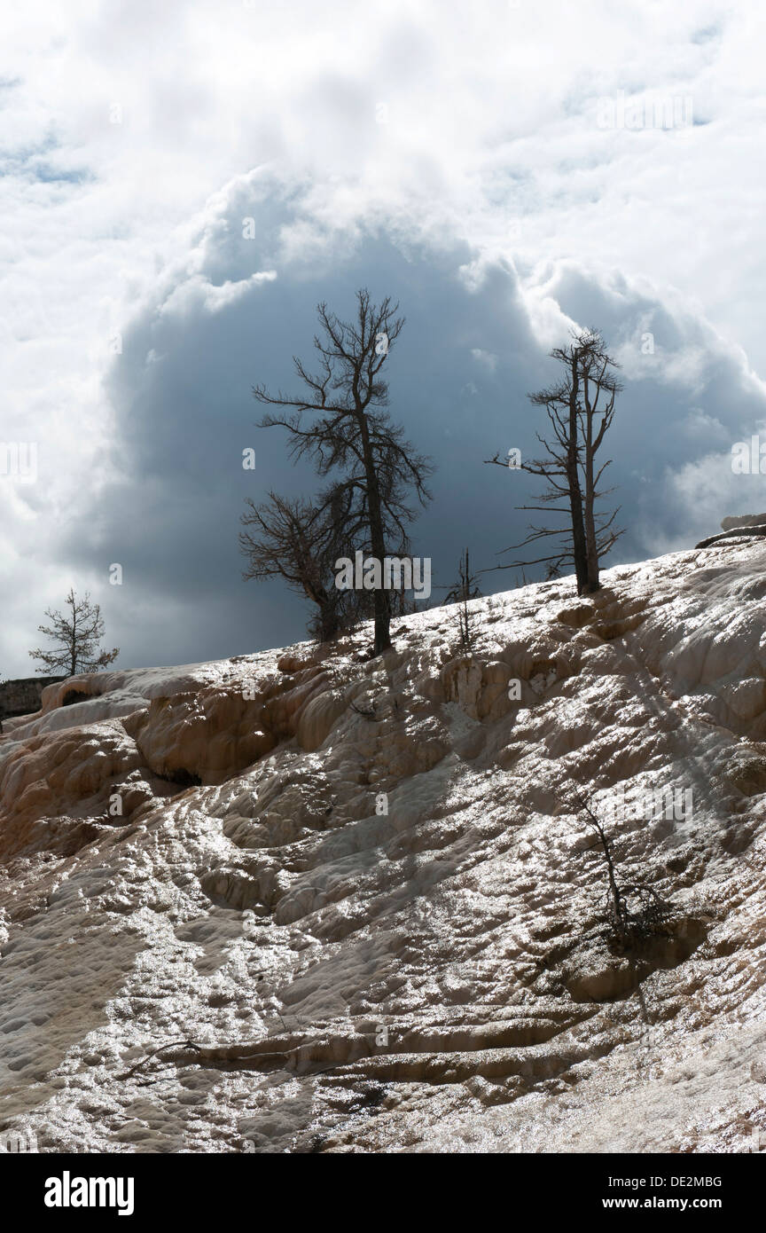Geomorphology, dead trees, limestone sinter terraces, Palette Spring, Mammoth Hot Springs, Yellowstone National Park, Wyoming - Stock Image