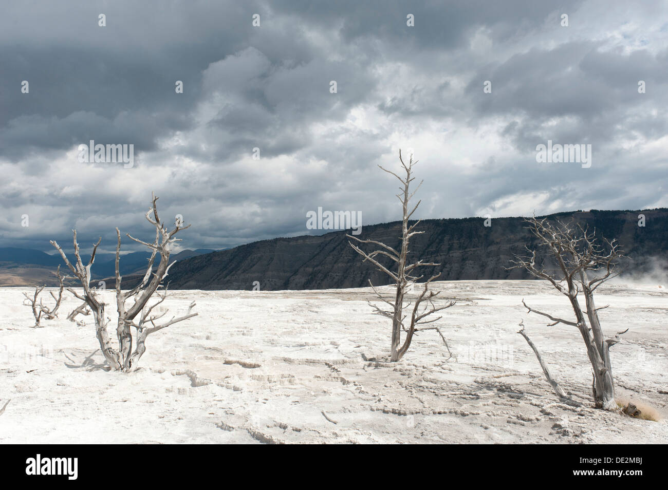Geomorphology, limestone sinter terraces, dead trees, Canary Spring, Main Terrace, Mammoth Hot Springs - Stock Image