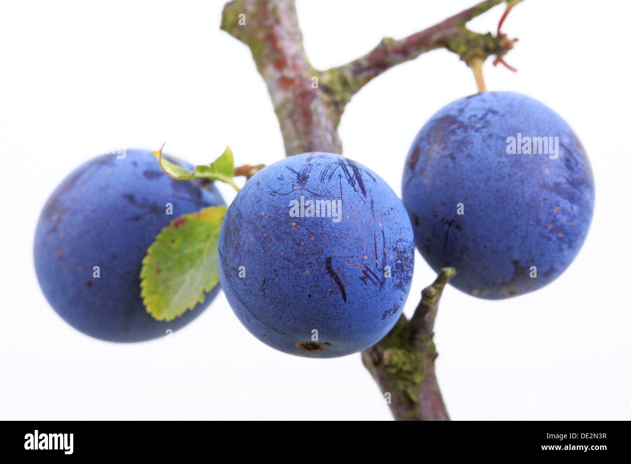 Blackthorn, sloe (Prunus spinosa), berries - Stock Image