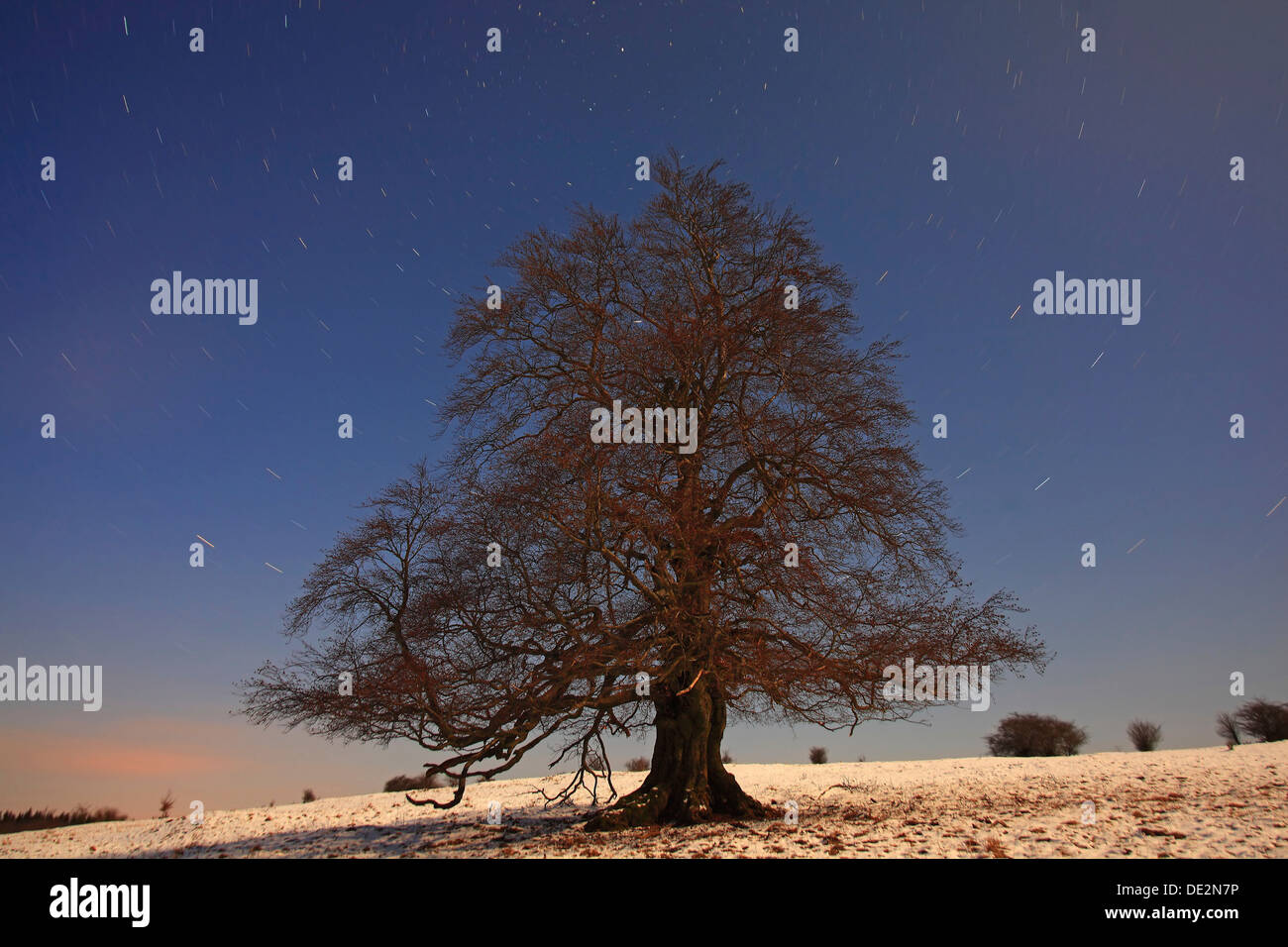 Solitary beech tree in winter, long exposure with stellar orbits, Mt Knoten, Hoher Westerwald region, Hesse - Stock Image