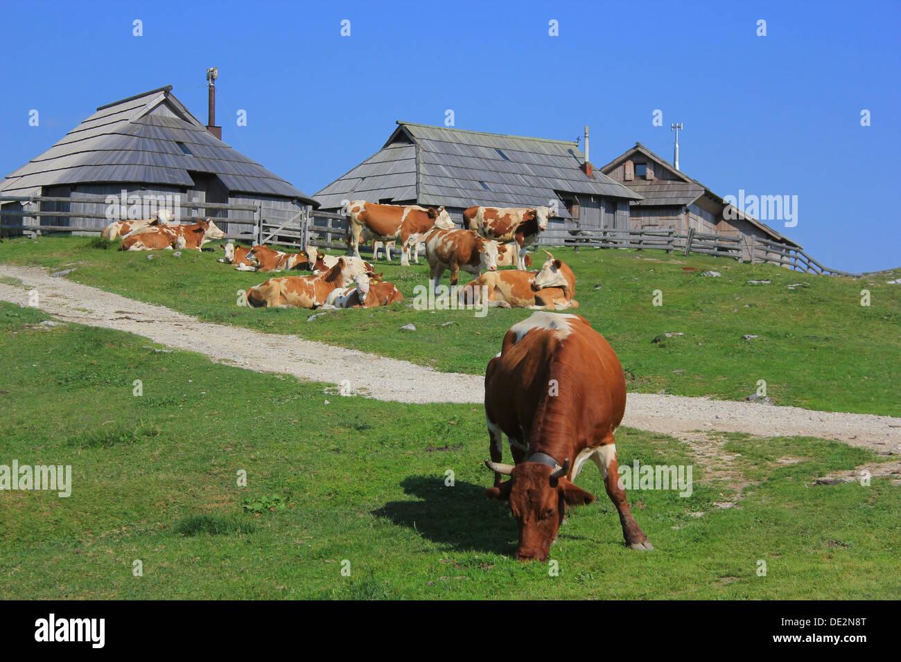 Cow eating grass, Velika planina pastureland scenery, Kamnik Alps, Slovenia - Stock Image