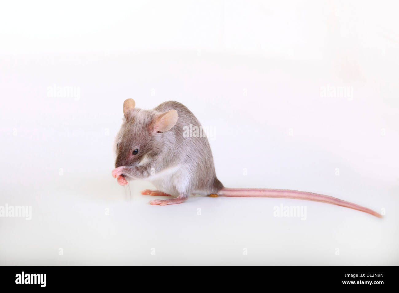 Fancy Mouse, a domesticated form of the House Mouse (Mus musculus) - Stock Image