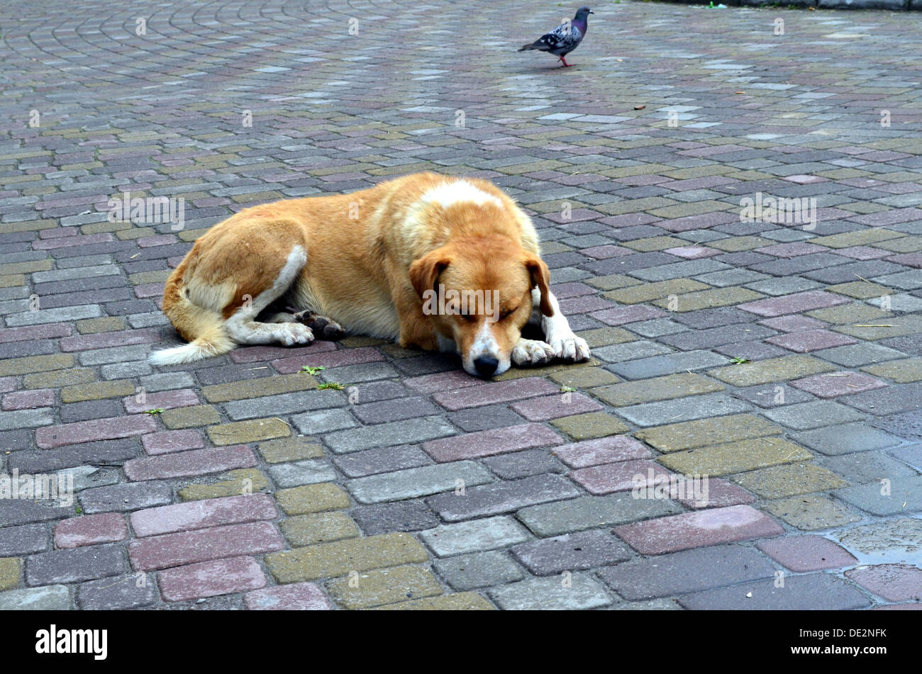 Some dog in Truskavets - Stock Image