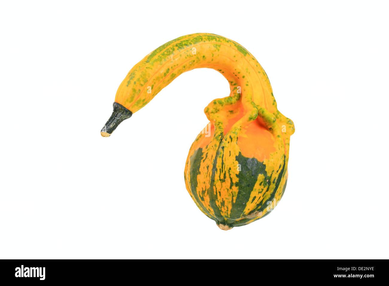 'Autumn Wings' or bottleneck gourd - Stock Image