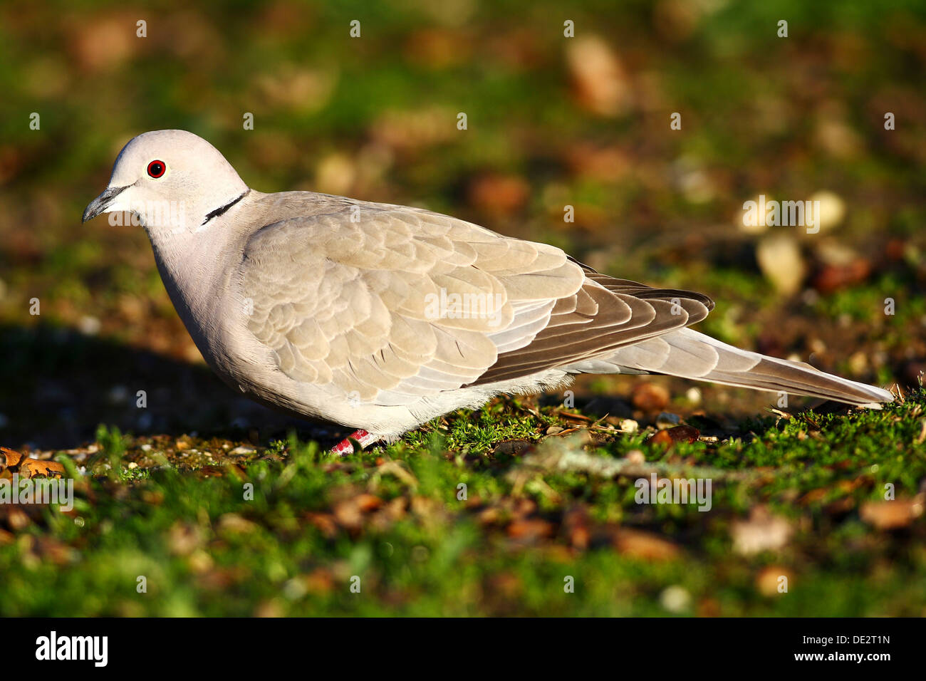 Eurasian Collared Dove (Streptopelia decaocto), National Park Monfrague, Exdremadura, Spain, Europe Stock Photo