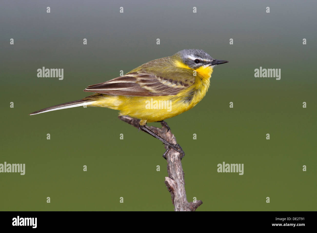 Yellow Wagtail (Motacilla flava), male sining on perch, Apetlon, Lake Neusiedl, Burgenland, Austria, Europe Stock Photo